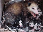 Opossum mom and babies.