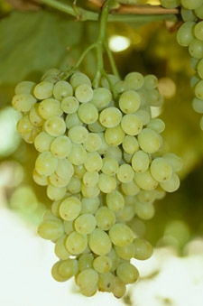 Diamond muscat grapes have natural resistance to powdery mildew.