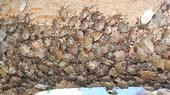 Brown marmorated stink bugs huddle together on a tree limb in Sacramento. (Photo: Baldo Villegas)