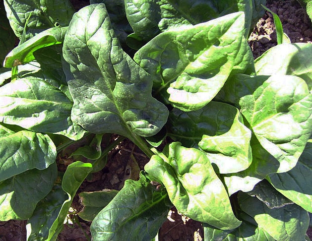Spinach takes up 80 percent of its nitrogen needs in the final two weeks before harvest.