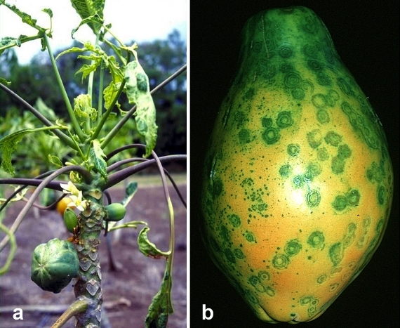Symptoms of papaya ringspot virus. The disease is controlled in a GMO variety called Rainbow papaya. (Photo: Wikimedia Commons)