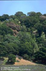 Oak woodland stricken with sudden oak death.