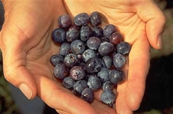 Blueberries.