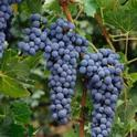 Viticulture publication credits UC Cooperative Extension for helping California winegrape growers.