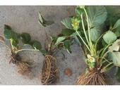 Coachella Valley strawberry plants on the left were stunted due to salt buildup in the soil. (Photo: Steven Koike)