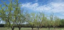 Almond farmers accustomed to irrigating with groundwater are in pretty good shape for 2014. for ANR News Blog Blog