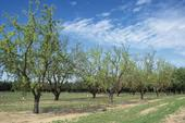 Almond farmers accustomed to irrigating with groundwater are in pretty good shape for 2014.