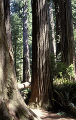 California redwood forest.