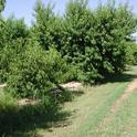 Rootstocks evaluated by UC scientists help control peach tree growth.