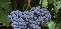Sangiovese grapes. for ANR News Blog Blog