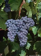 Sangiovese grapes.