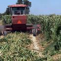 Harvesting Giant King Grass (Photo: Viaspace Inc.)