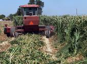Harvesting Giant King Grass (Photo: Viaspace Inc.)