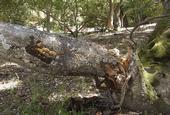 A coast live oak killed by sudden oak death. (Photo: Bruce Hagen)