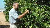 UC Cooperative Extension specialist Mark Hoddle inspects a citrus tree for insects.