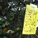 New chemical attractants could make a better Asian citrus psyllid trap.