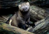 Pacific fisher is another victim of illegal marijuana grows.