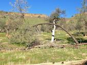 A gray pine bends over a small oak tree on foothill rangeland east in Fresno County, where green grass is growing thanks to December rains.