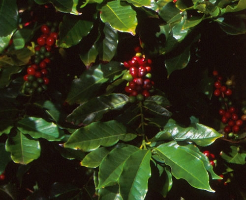 Each coffee cherry contains two coffee beans
