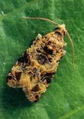European grapevine moth (CDFA photo).