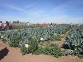FARM SMART visitors pick vegetables at the UC Desert REC.