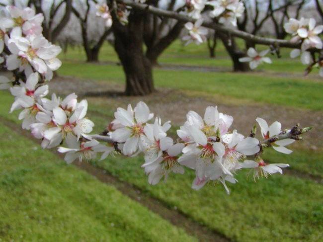 California weather is perfect for almond bloom.