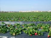 San Joaquin Valley strawberry season is about two weeks early.