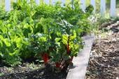 A potential solution to hunger and food insecurity is growing vegetables in backyards and vacant lots, says Rachel Surls, UC ANR urban agriculture advisor.