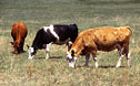 Cattle graze rangeland