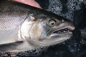 UC ANR Cooperative Extension is working with a number of agencies to protect coho salmon. (Photo: Cal Dept of Fish and Wildlife)