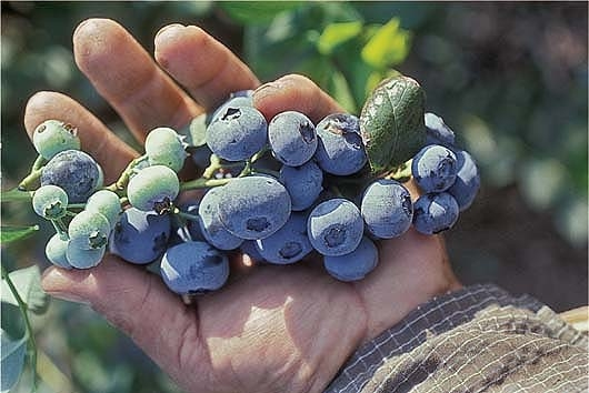 UC ANR researchers want to know how little it water it takes to grow blueberries.