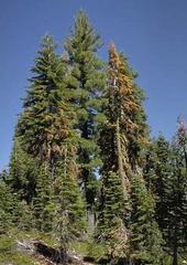 Fire trees dying from bark beetle infestations.
