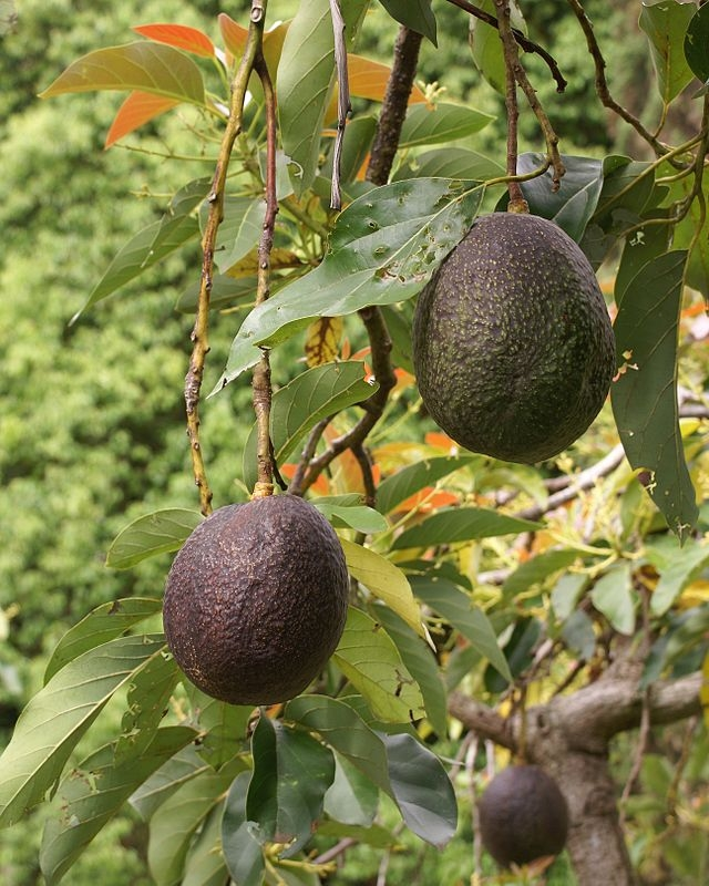 Planting avocado trees closer together nearly doubles yield, UC ANR advisor Gary Bender found.