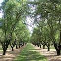 An almond orchard in Winton, Calif.
