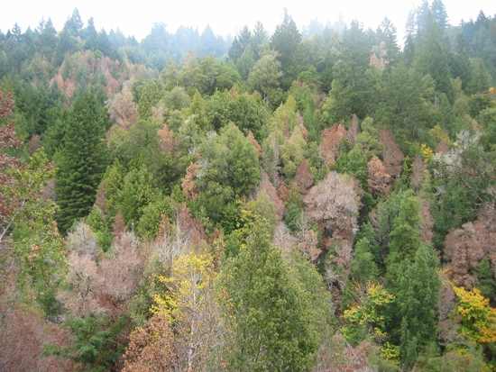 Humboldt County tanoak trees that have succumbed to sudden oak death.