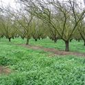 Many almond orchards are irrigated with water-conserving drip irrigation. A new study will look at flood irrigation in winter to recharge the underground aquifer. (Photo: Maxwell Norton)