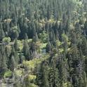 A coniferous forest along Tenaya Creek in the Sierra Nevada. (Photo: Wikimedia Commons)