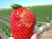 Water damage on a strawberry, probably due to the fruit sitting in a pool of water on the plastic.