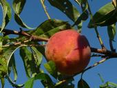 Drought and warm winter weather combine to reduce the size, and increase the taste, of 2015 California stonefruit.