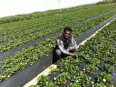 Surendra Dara in a Central Coast strawberry field.