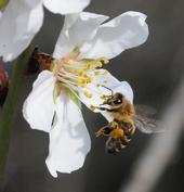 Bee on almond blossom by Kathy Keatley Garvey.