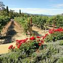 Northern California wines can be produced with or without irrigation water. (Photo: Wikimedia Commons)