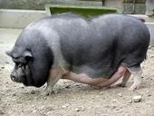 When pot-bellied pigs grow larger than expected, they often cease to be good pets. A Chinese firm is using biotechnology to create pigs that weigh in no heavier than 33 pounds. (Photo: Wikimedia Commons)