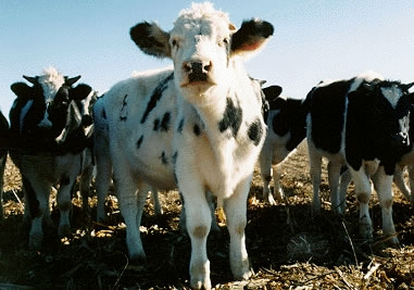 Dairy cow in California.