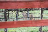 A coyote very near one of HREC's main pastures that holds lambs. (Photo: Robert J. Keiffer)