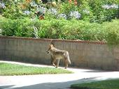 A coyote roams an urban street. (Photo: T. Boswell)