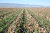 A cover crop growing in cotton and tomato residues in a no-till agricultural field.