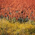 UC scientists are studying sorghum genetics to understand plant drought tolerance. (Photo: Wikimedia Commons)