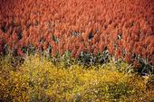 UC scientists are studying sorghum genetics to understand plant drought tolerance.