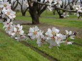 An almond branch in full bloom.